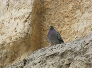 A bird on the Western Wall, the only part of the Second Temple to survibe.